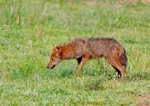 Golden jackal canis aureus sul campo