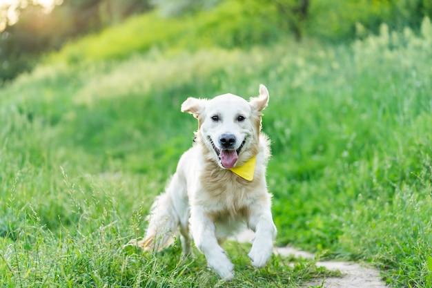 Golden retriever cane che corre sull'erba verde in estate
