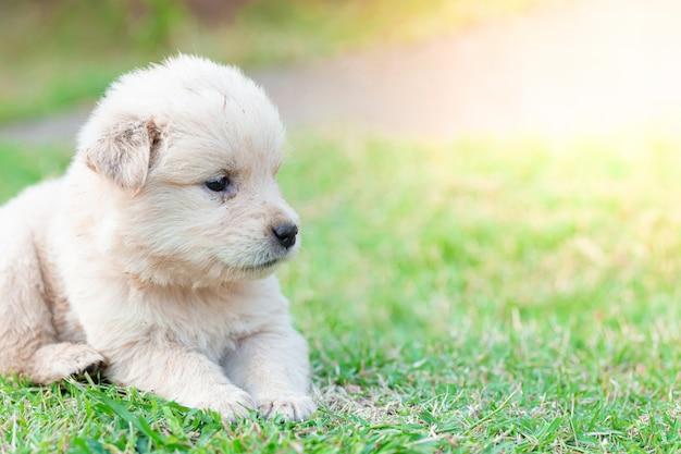 Golden retriever del piccolo cucciolo che si siede nel prato inglese
