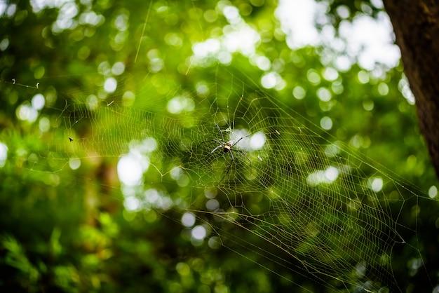 Golden silk orb weaver (nephila) o ragni di legno giganti, o ragni di banana.