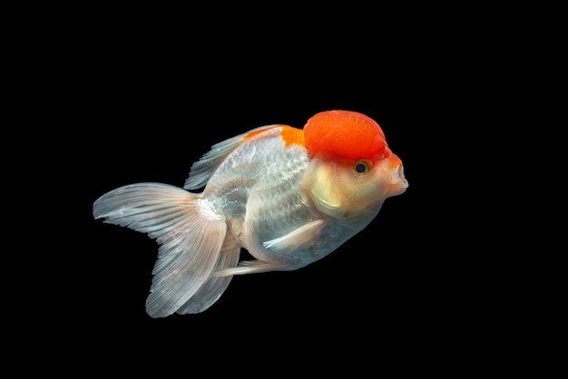 Goldfish di oranda isolato in blackground