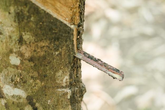 Gomma, lattice, lattice di campo estratto dall'albero della gomma (hevea brasiliensis)