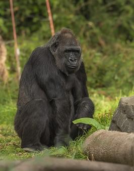 Gorilla che si siede su un campo erboso