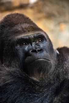 Gorilla maschio occidentale che si siede, gorilla della gorilla della gorilla, in uno zoo.