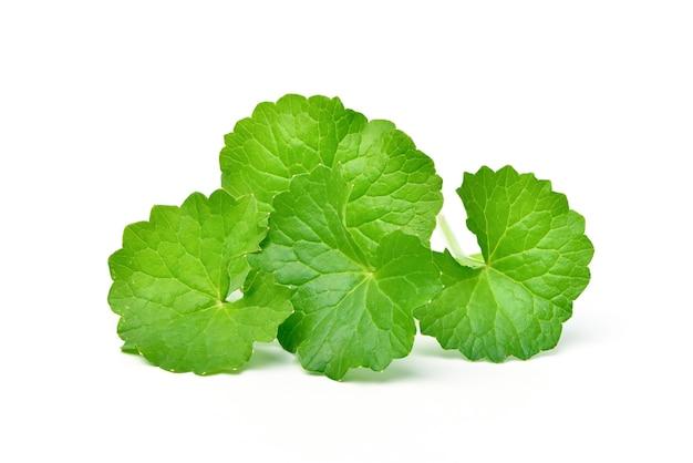 Gotu kola foglie isolati su superficie bianca