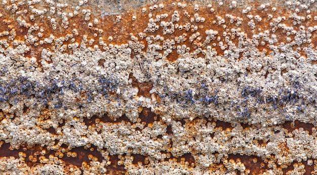 Granate di ghianda attaccate allo scafo della barca a remi