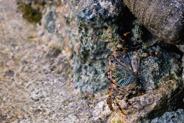 Granchio su una pietra sulle rive delle maldive