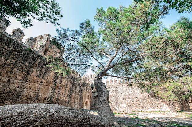 Grande albero che cresce all'interno di un castello in rovina