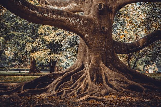Grande albero con forti radici nel parco