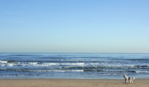 Grande barboncino bianco in un enorme paesaggio di spiaggia