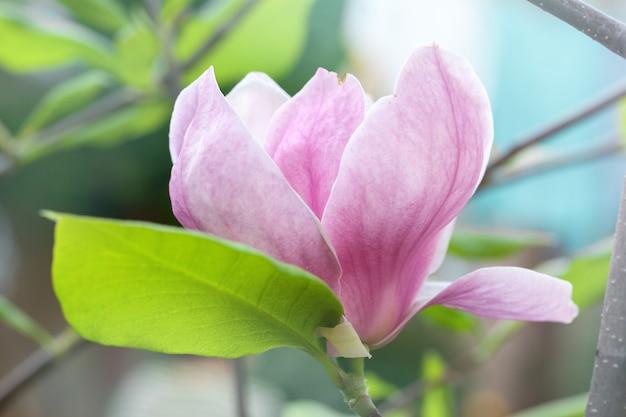 Grande bella magnolia
