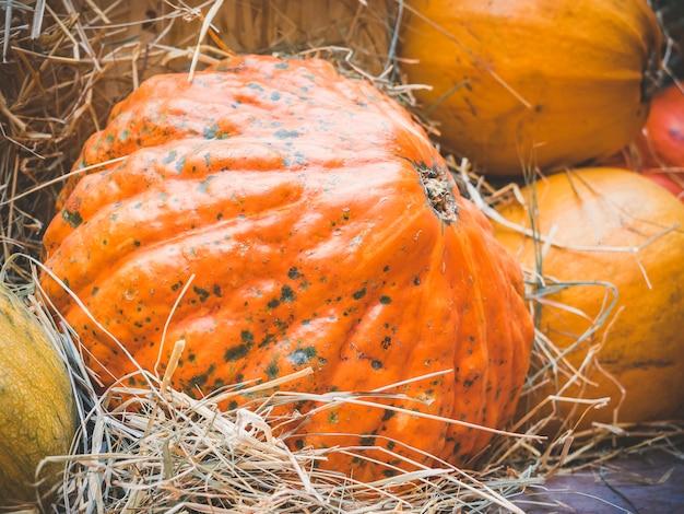 Grande bugia della zucca arancione nella paglia. raccolta autunnale di zucche preparate per la festa.
