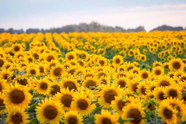 Grande campo di girasoli fioriti