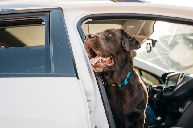 Grande cane nero in macchina