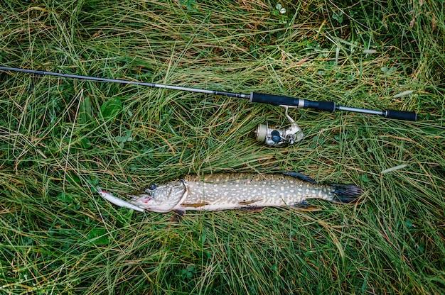 Grande cattura, luccio con spinning si trova sull'erba. pesce, cucchiaio. posatoio su ganci.