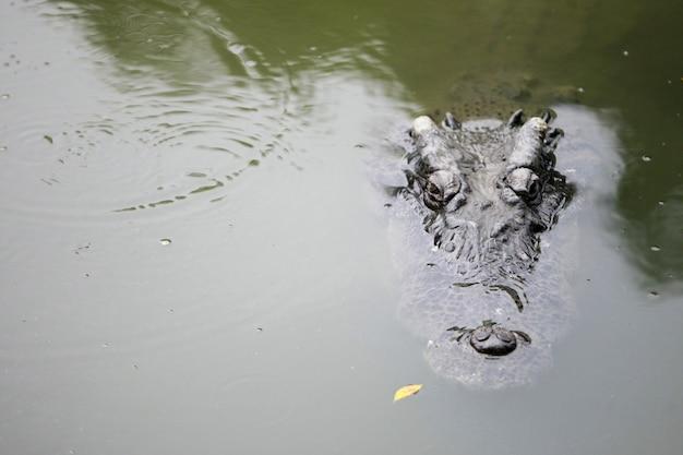 Grande coccodrillo nella fattoria