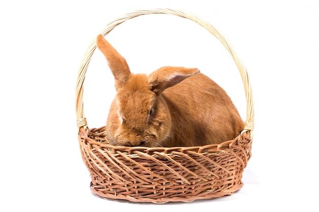 Grande coniglio rosso lanuginoso in un canestro, isolato, coniglietto di pasqua