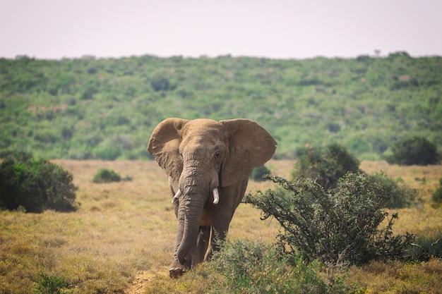 Grande elefante africano che cammina nei cespugli di addo national park, sudafrica