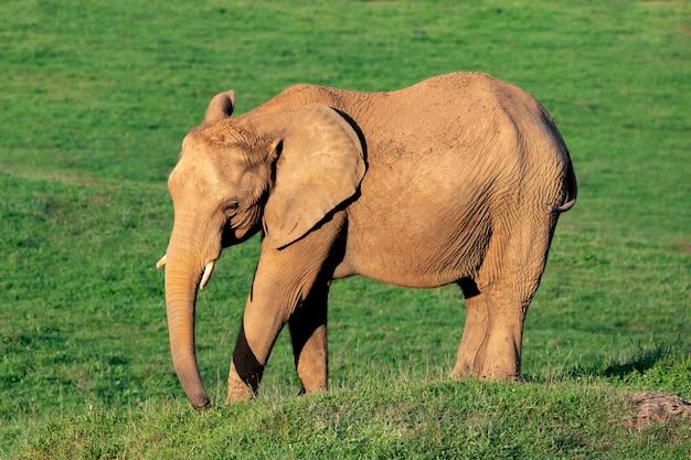 Grande elefante maschio su un prato