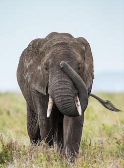 Grande elefante nella savana