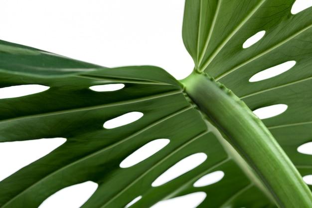 Grande foglia verde della pianta di monstera su bianco