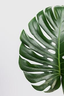 Grande foglia verde della pianta di monstera su fondo bianco