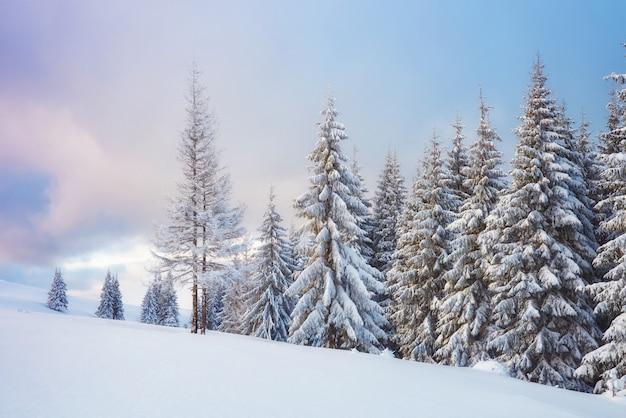 Grande foto invernale in montagne carpatiche con abeti innevati.