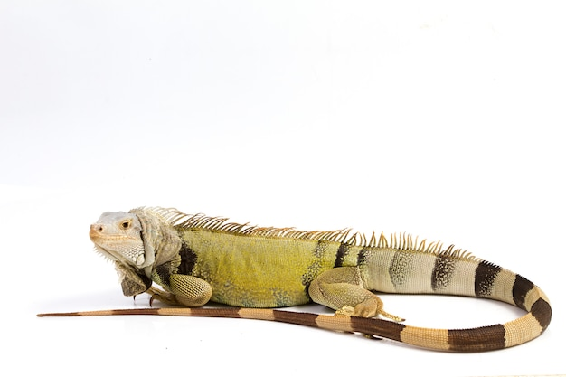 Grande iguana verde isolata su una priorità bassa bianca