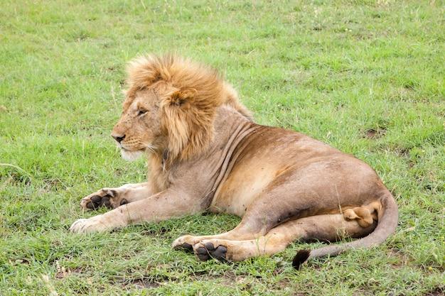 Grande leone che riposa nell'erba nel prato