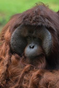 Grande orangutan maschio dall'isola del borneo