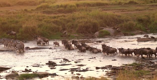 Grande passaggio del fiume di migrazione in kenya africa