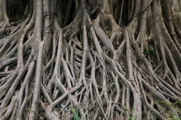 Grande radice di albero di banyan