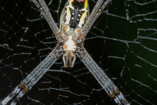 Grande ragno nel web