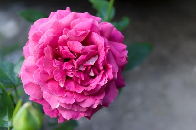 Grande rosa rosa
