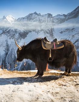 Grande yak nella neve