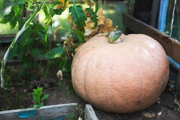 Grande zucca arancia matura