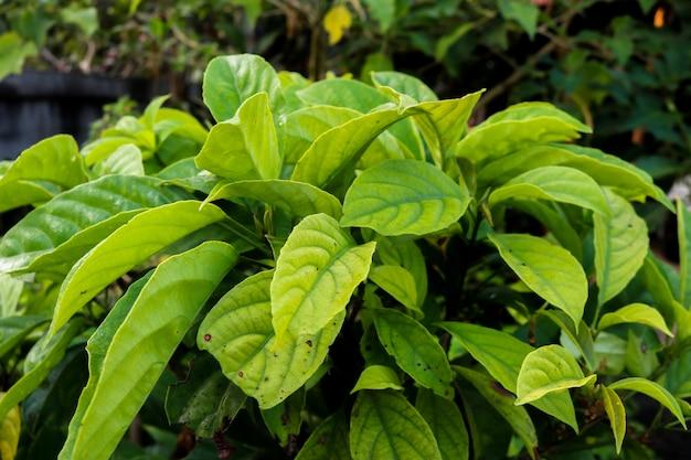 Grandi arbusti a foglia verde e sfondo sfocato.