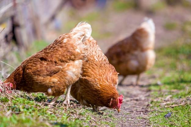 Grandi belle belle galline marrone-rosso che si alimentano all'aperto nel prato verde con erba fresca il giorno soleggiato luminoso. allevamento di pollame, carne di pollo e uova concetto.