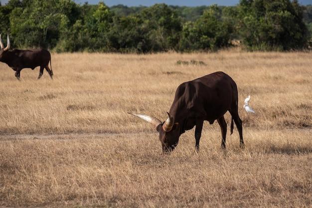 Grandi bovini cornuti al pascolo su un campo nella giungla di ol pejeta, in kenya