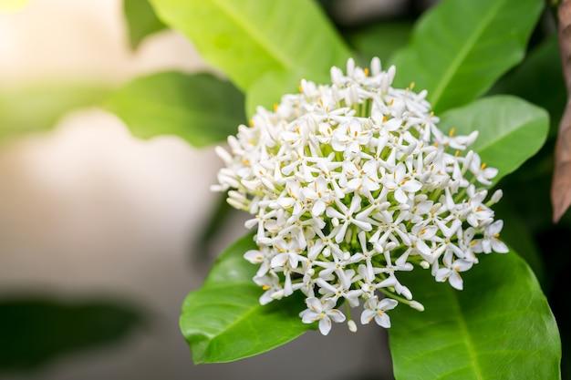 Grandi fiori bianchi in natura, copia spazio.