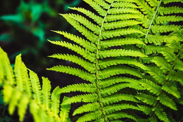 Grandi foglie verdi di felce close-up. priorità bassa dettagliata di grande fogliame con copyspace. foglia strutturata di polipodiales.