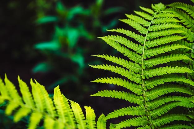 Grandi foglie verdi di felce close-up.