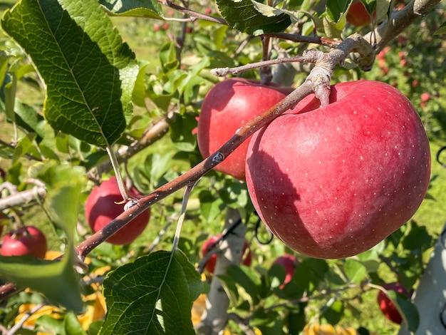 Grandi mele che crescono sugli alberi di mele