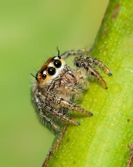 Grandi occhi luminosi di un ragno che salta su una grande testa