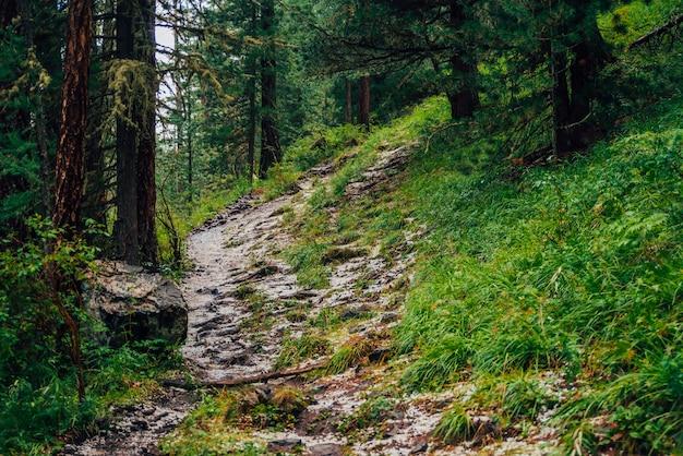 Grandine sulla pista nella foresta di conifere scura. atmosferico paesaggio boschivo con ricca flora forestale. grandine nei boschi. percorso in montagna. sorgi sulla montagna attraverso il bosco. in alto nella foresta di conifere scura.