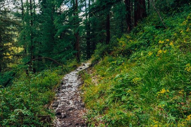 Grandine sulla pista nella foresta di conifere scura. atmosferico paesaggio boschivo con ricca flora forestale. grandine nei boschi. percorso in montagna. sorgi sulla montagna attraverso il bosco. in alto nella foresta di conifere scura