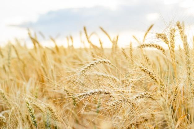 Grano dorato di frumento. ricco concetto di raccolto.