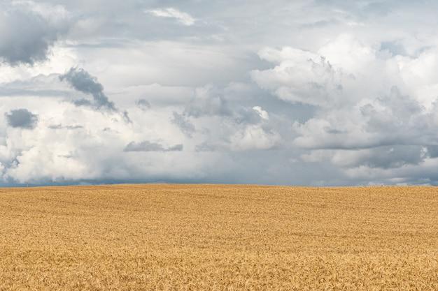 Grano-terra pronta del raccolto al fondo blu del cielo nuvoloso.
