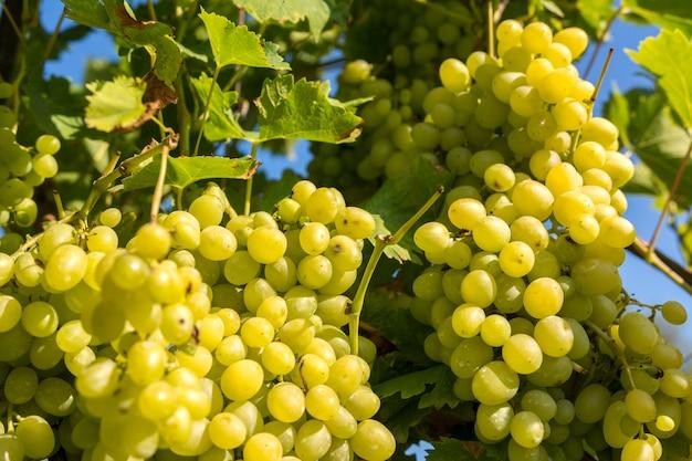 Grappoli d'uva bianca sulla pianta