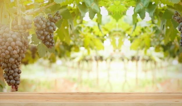 Grappoli d'uva di vino rosso appendono da una vecchia vigna nella luce del mattino.